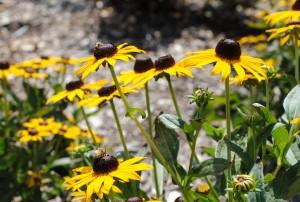 Honeybee on Black-eyed Susan