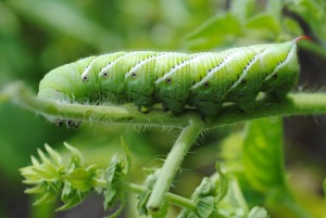 Green hornworm on tomato leaf