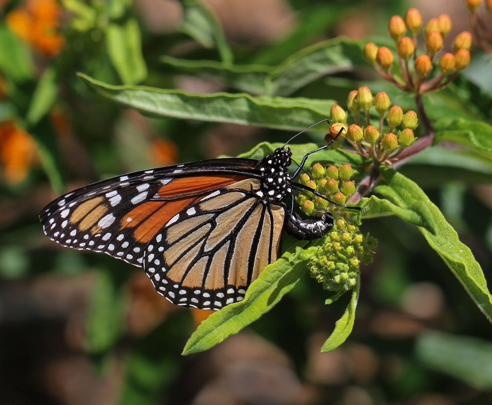 A monarch lays an egg on butterfly milkweed. Photo by Debbie Roos.