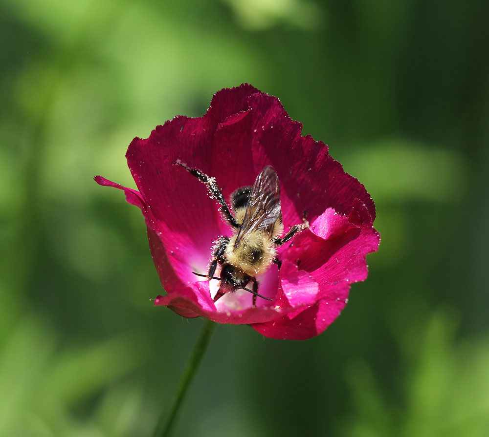 The bumble bees love love love the poppymallow (Callirhoe bushii)! Photo by Debbie Roos.