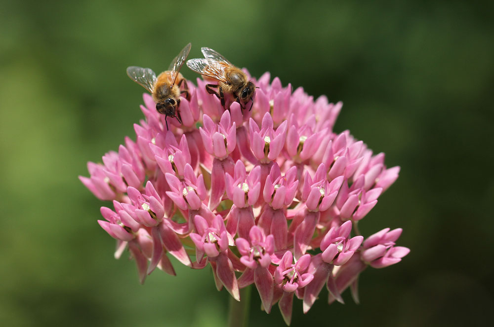 The honey bees were all over the red milkweed (Asclepias rubra) in the pollinator garden. Photo by Debbie Roos.