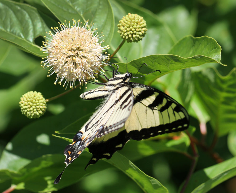Eastern tiger swallowtail on buttonbush. Photo by Debbie Roos.