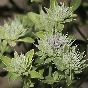 Pycnanthemum flexuosum