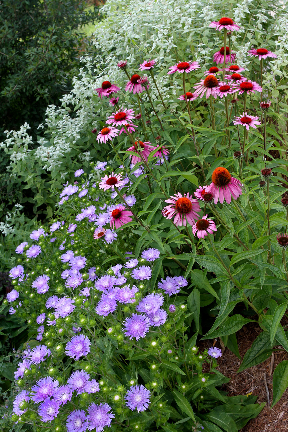 Stoke's aster, coneflower, and mountain mint in the pollinator garden. Photo by Debbie Roos.