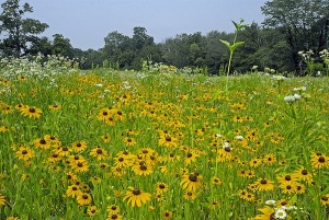 Black-eyed-Susan in a meadow with other flowers.