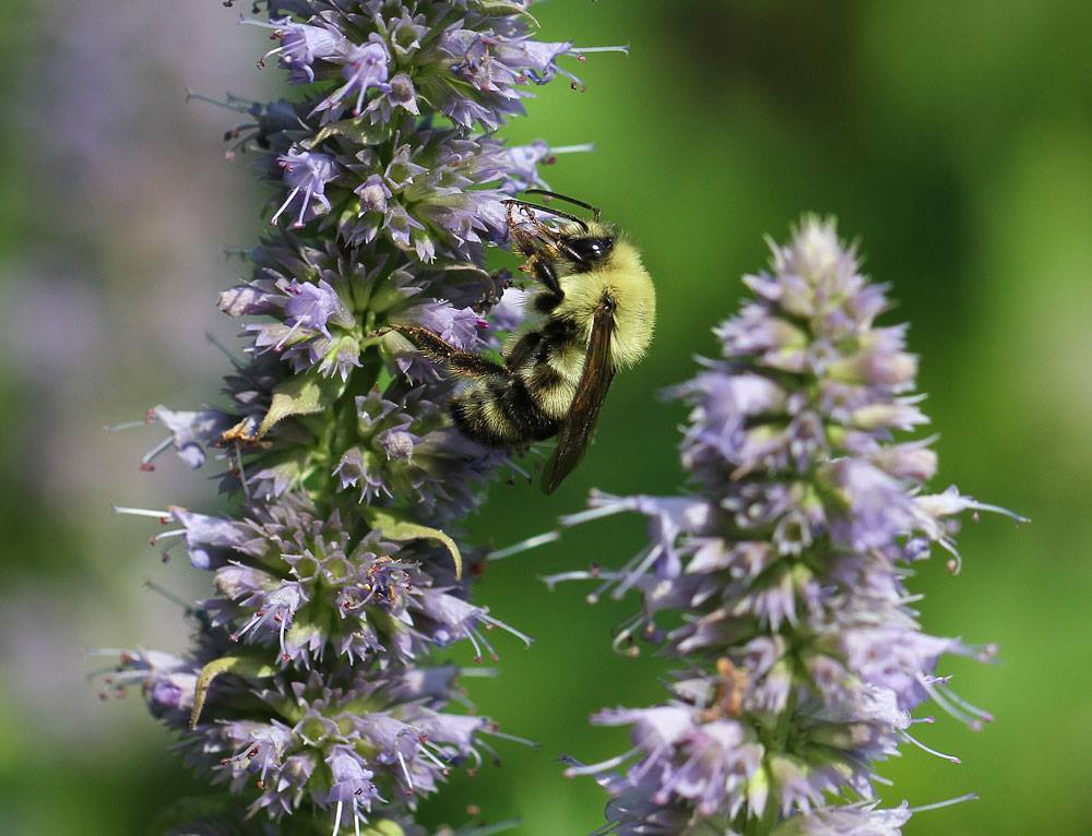Two-spotted bumble bee (Bombus bimaculatus) on anise hyssop. Photo by Debbie Roos.
