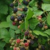 Blackberries, image by Chris Luczkow  CC-BY
