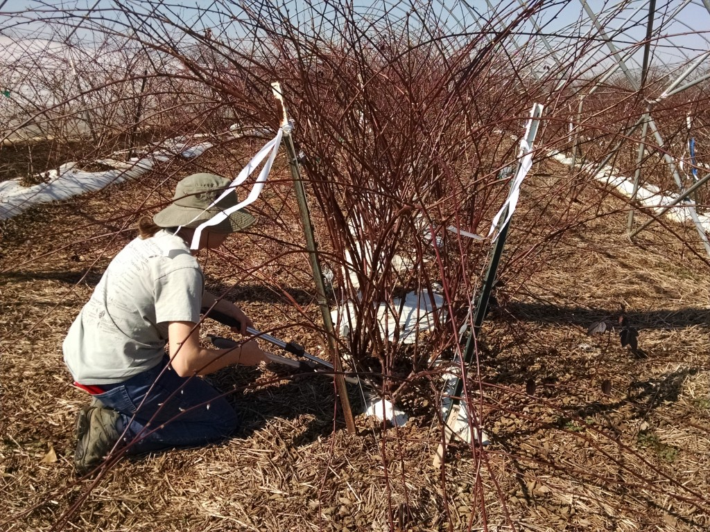 Early spring floricane pruning (in photo: Aurora Toennisson)