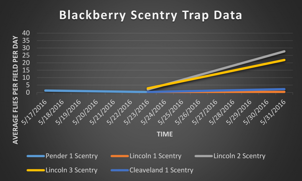 This graph shows the number of SWD caught in the Scentry bait traps from 5/17/2016 through 5/31/2016 in close proximity to blackberry crops