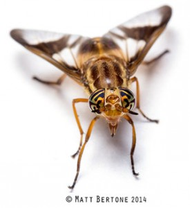 Adult deer flies are yellow with dark stripes.