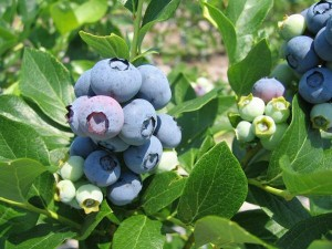 Highbush Blueberry image by Bill Cline
