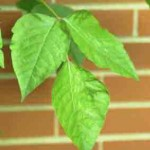 Poison ivy causes allergic dermititis
