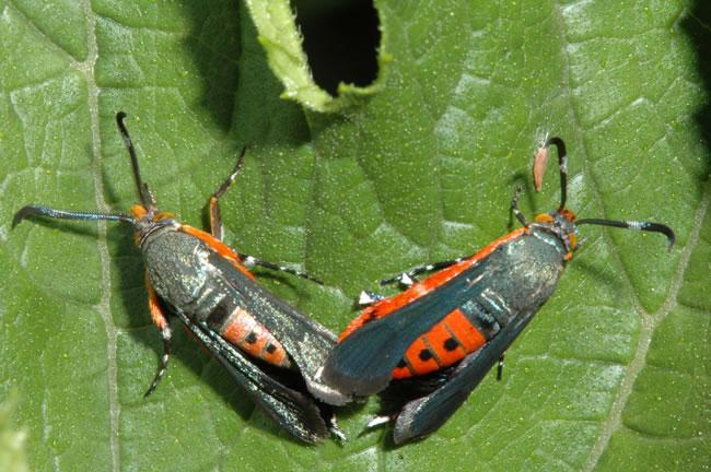 squash-vine-borers-moth