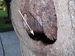 Tree holes created by damaged limbs collect water and debris for mosquito breeding (Photo - M. Waldvogel, NCSU)