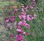 waxflowers2_th
