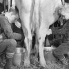 Boys' milk cows by hand