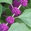 Callicarpa-americana--Forest-and-Kim-Starr--CC-BY