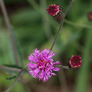 Stemless ironweed