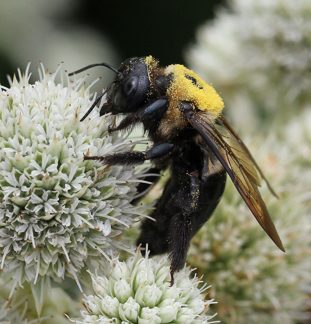 Carpenter bee on rattlesnake master. Photo by Debbie Roos.