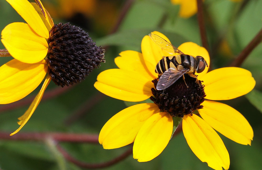 Syrphid fly on the brown-eyed susan. Photo by Debbie Roos.