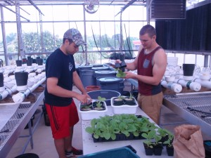 Figure 1. Installation of the tobacco seedlings into the automated nutrient disorder irrigation system, with Josh Henry, M.S. Research Assistant in Horticultural Science (left) and Paul Cockson, B.S. Research Assistant in Agroecology (right). ©2016 Forensic Floriculture