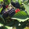 hq blackberries