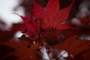 Acer Palmatum, Kevin_Faccenda_flowers_CCBY20