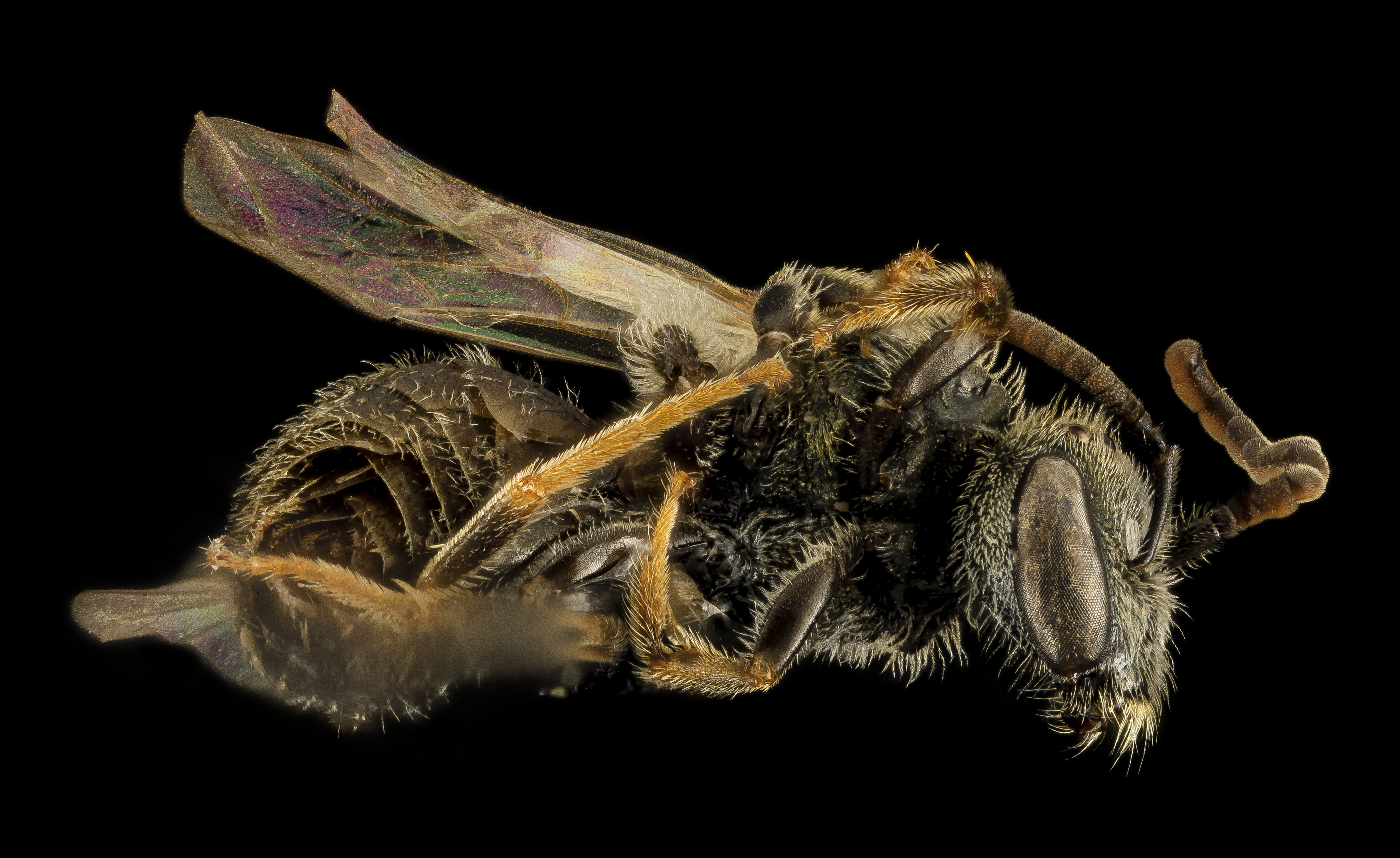 Lassioglossum hitchensi. Photo: Brooke Alexander