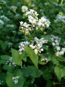 buckwheat picture