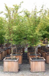large trees in wooden containers
