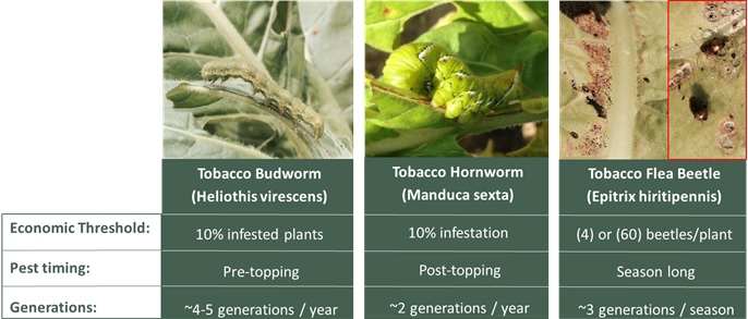 Economic thresholds in tobacco.