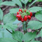 ginseng plant with red berry cluster