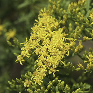 Small's goldenrod