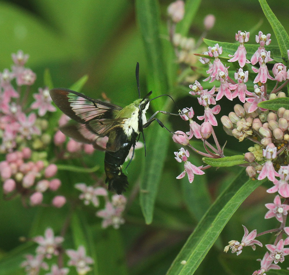 Hummingbird moth feeding on swamp milkweed. Photo by Debbie Roos.