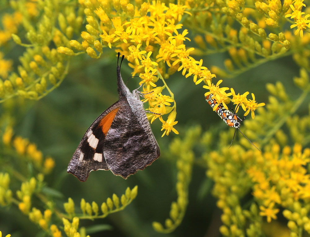 An American snout butterfly and an Ailanthus webworm moth forage side-by-side on Small's goldenrod. Photo by Debbie Roos.