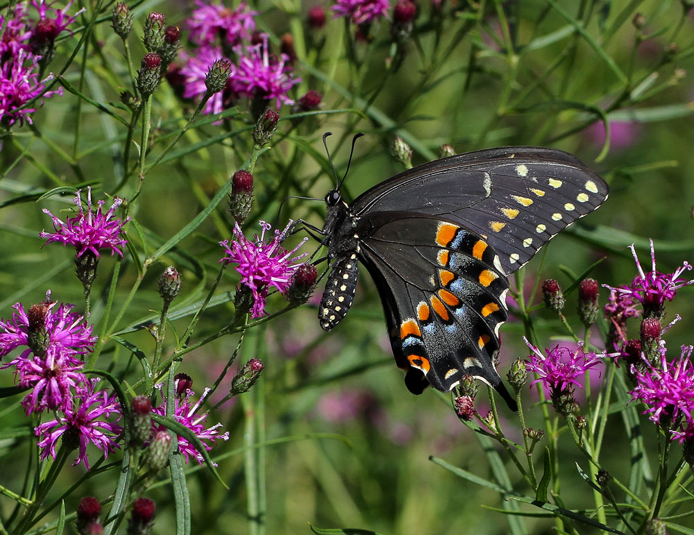 Black swallowtail on ironweed. Photo by Debbie Roos.