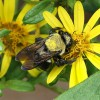 Carpenter bee on starry rosinweed. Photo by Debbie Roos.