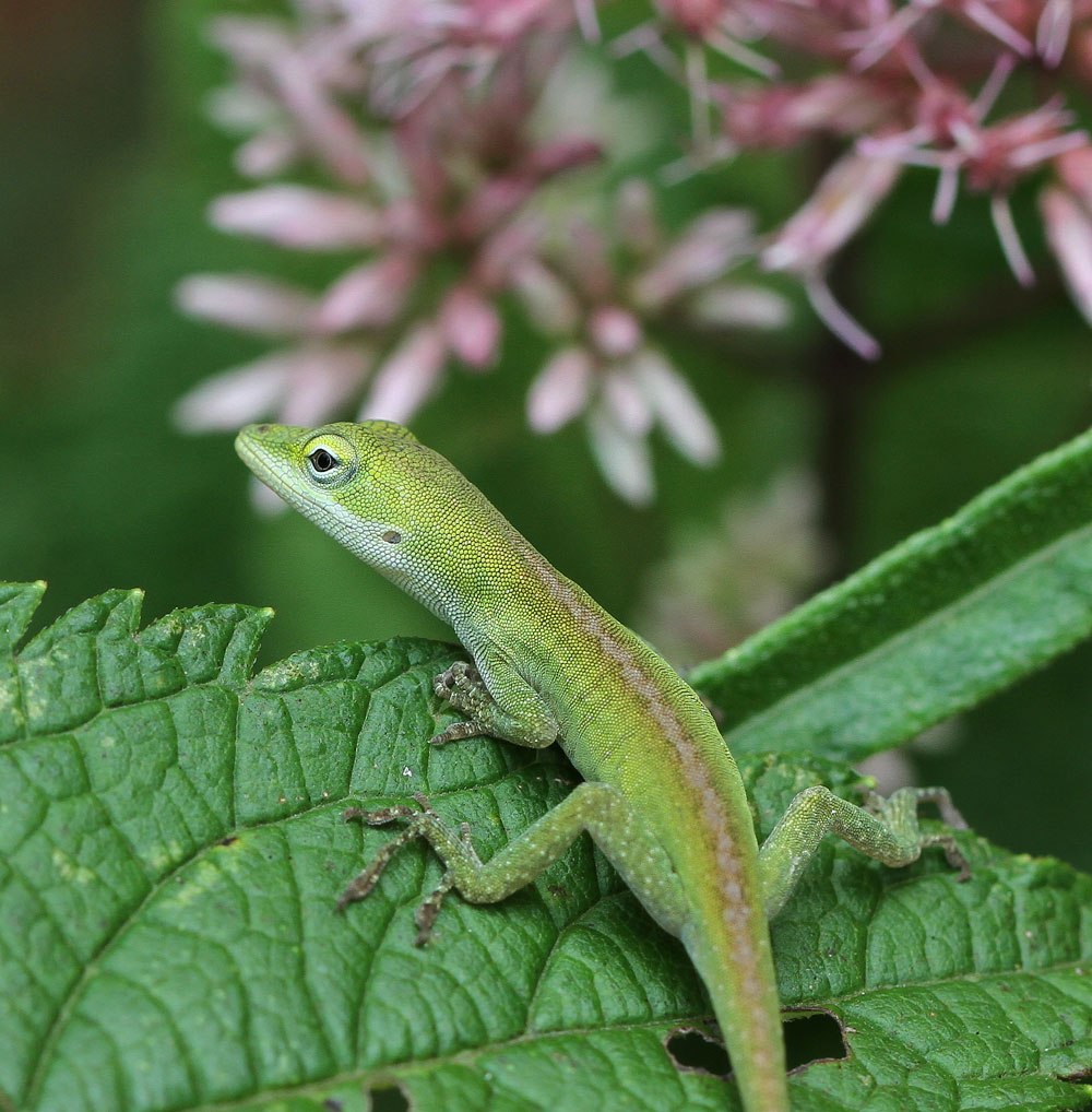 Young Carolina anole on joe-pye weed. Photo by Debbie Roos.