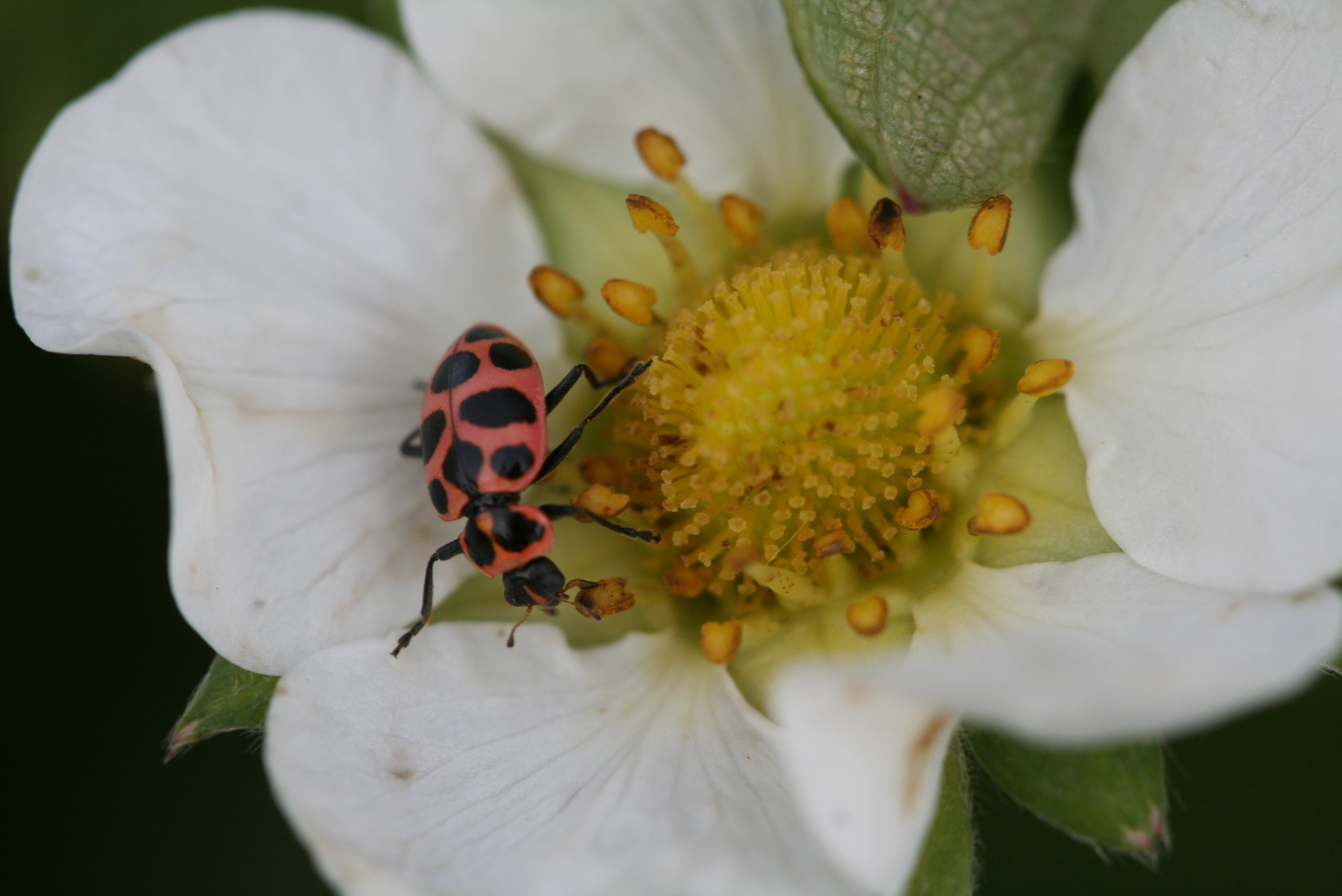 Lady bug adult. Photo: Jeremy Slone