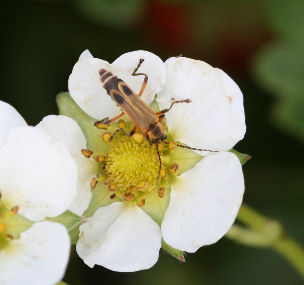 Soldier beetle adult. Photo: Jeremy Slone
