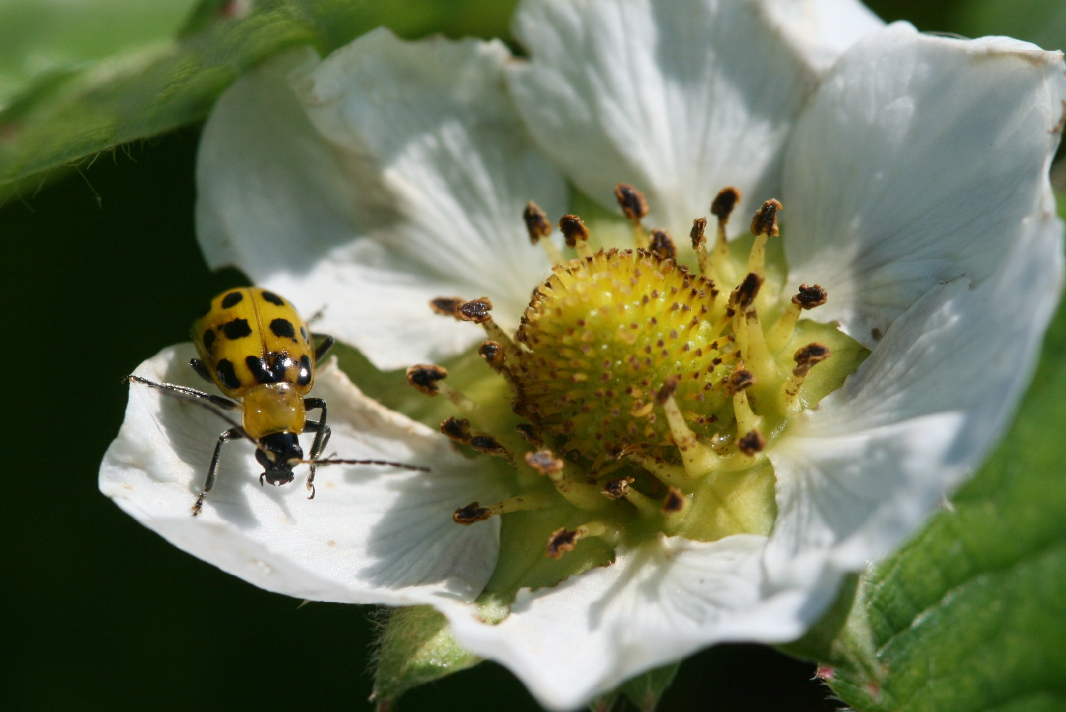Cucumber beetle adult. Photo: Jeremy Slone