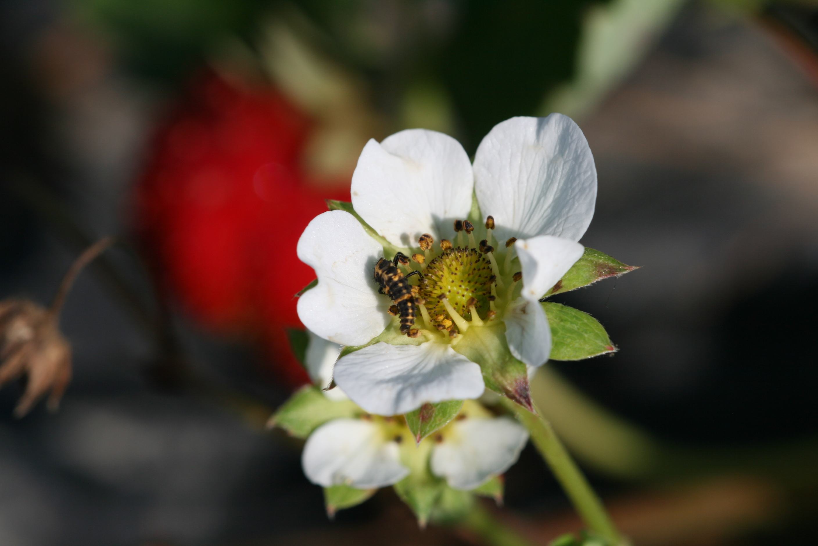 Strawberry Pollinating Insects   NC State Extension