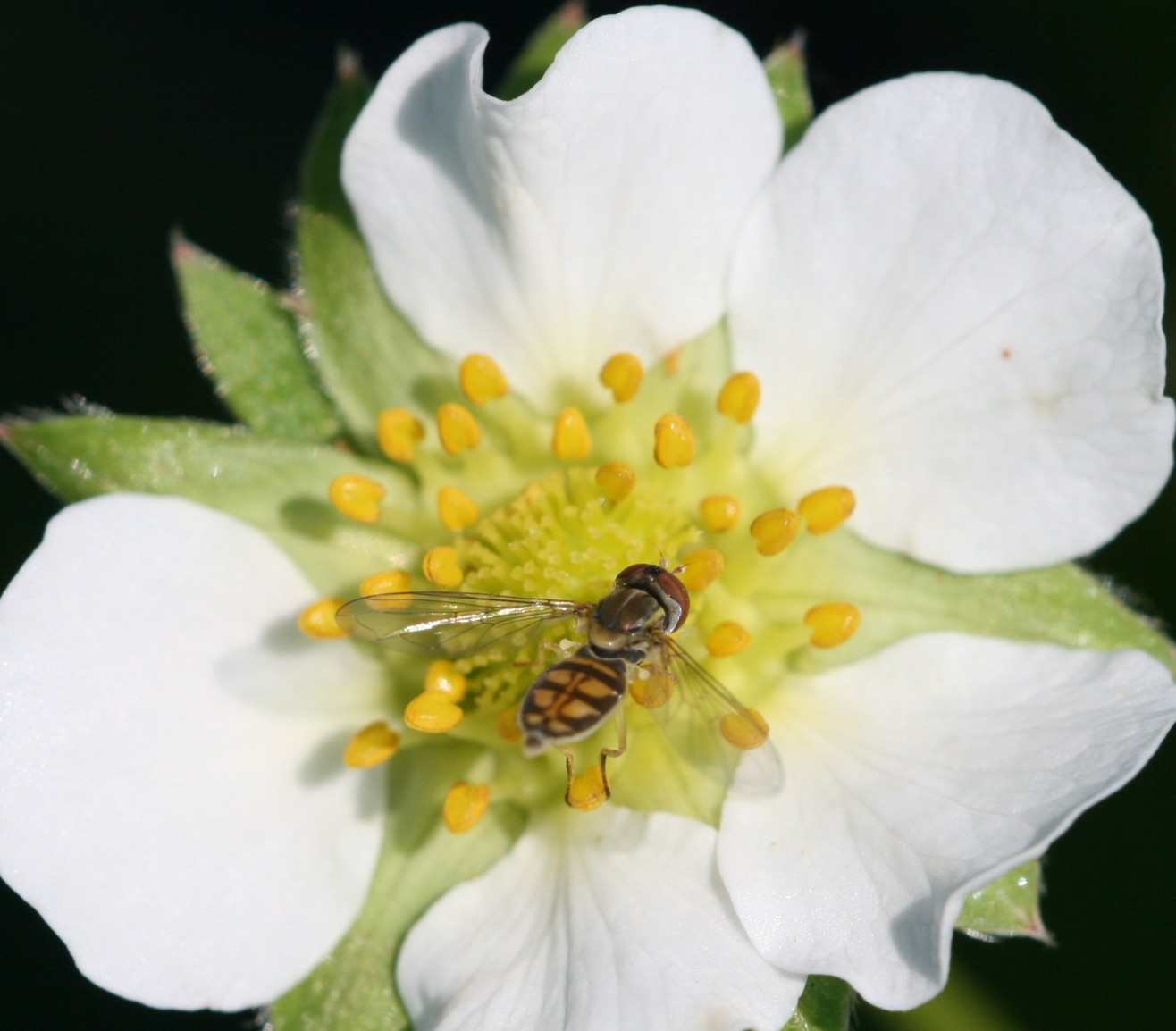 Syrphid fly adult. Photo: Jeremy Slone