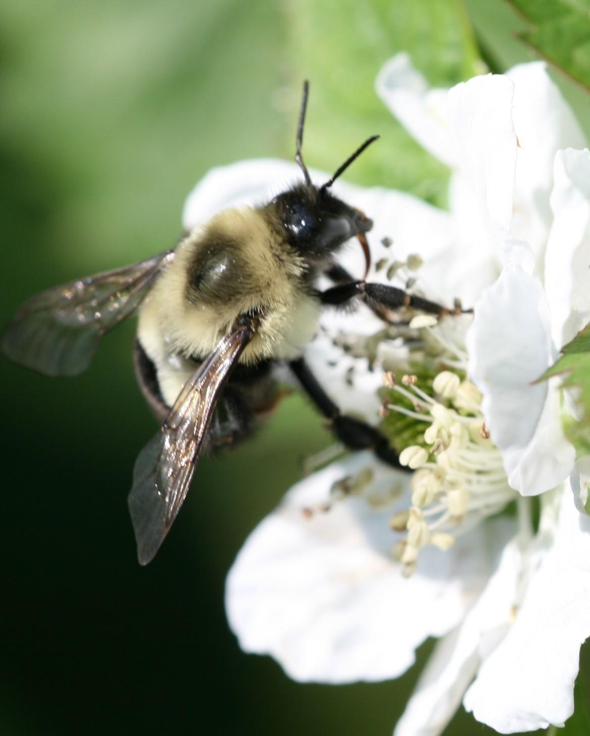 Bumble bee. Photo: Jeremy Slone