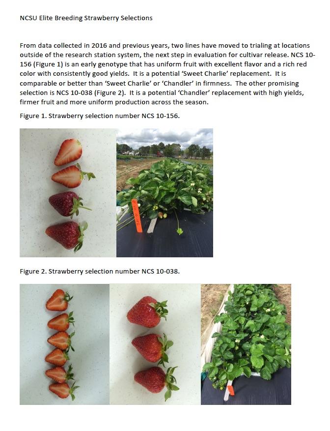 NCSU breeding selections 2015-6