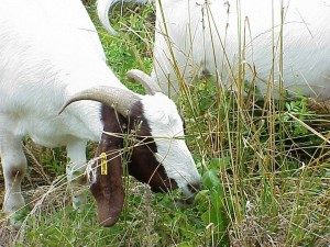 Cover photo for Is It Safe to Consume Milk From Goats Eating Poison Ivy?