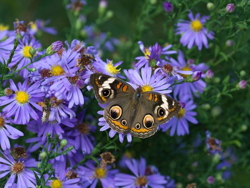Buckeye on smooth aster in the fall garden. Photo by Debbie Roos.