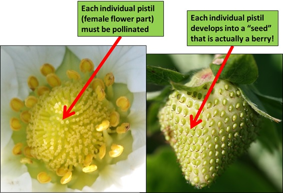 Berry development from each pistil being pollinated into individual achenes. Photo: Jeremy Slone