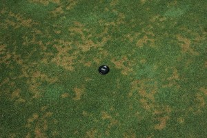 Anthracnose stand symptoms on a golf course putting green