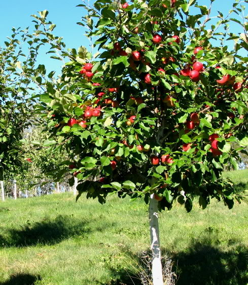 Have you thought about growing your own apples north carolina cooperative extension - Planting fruit trees in the fall a garden full of vigor ...